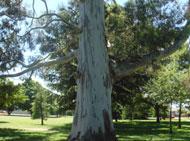 公園には大木